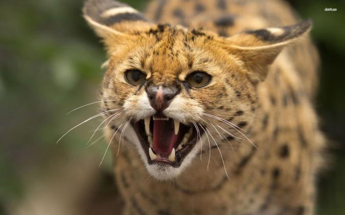 wildcat - 01
